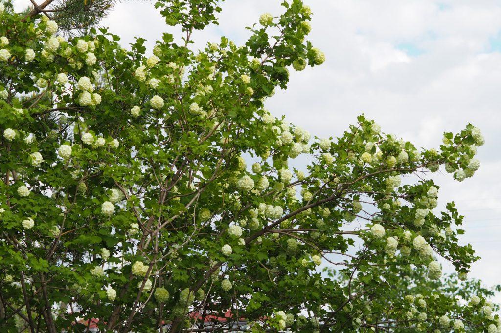Viburnum plicatum tree in my backyard